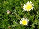 白と黄色のたんぽぽ