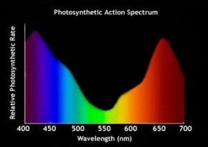 photosynthetic-action-spectrum